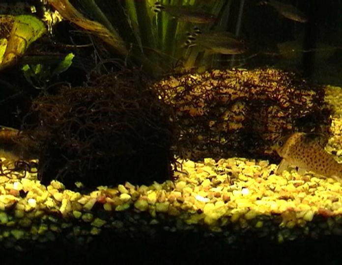Eine l stige art von algen aquarium forum for Algen im aquarium