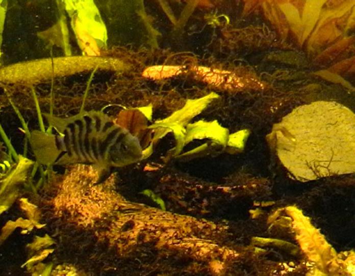 braune fadenalgen im aquarium bek mpfen blaualgen pflanzen aquarium stammtisch bartalgen im. Black Bedroom Furniture Sets. Home Design Ideas